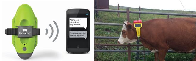 Şekil 2. Hayvansal üretimde kullanılmak üzere geliştirilen IoT cihazı (www.moocall.com) (www.cattle-watch.com)